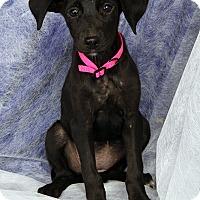 Adopt A Pet :: Margie BC - St. Louis, MO