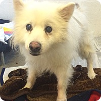Adopt A Pet :: Casper the Friendly Spitz - Oak Ridge, NJ