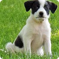 Adopt A Pet :: Abbie in NY - new pup! - Beacon, NY