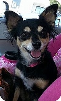 Chihuahua Mix Dog for adoption in Mesa, Arizona - Maya