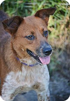 Australian Cattle Dog Mix Puppy for adoption in Loxahatchee, Florida - Diamond