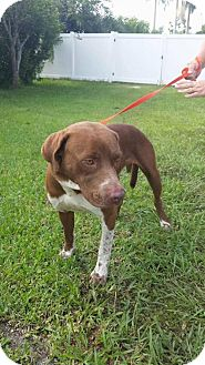 Mountain Cur/Boxer Mix Dog for adoption in Lake Placid, Florida - Reggie