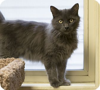 Domestic Mediumhair Cat for adoption in Fremont, Nebraska - Husker