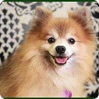 Adopt A Pet :: Lennox - Dallas, TX
