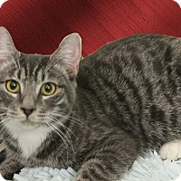 Domestic Shorthair Cat for adoption in Monrovia, California - SLATER