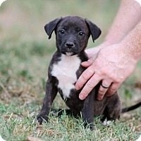 American Staffordshire Terrier/Terrier (Unknown Type, Medium) Mix Puppy for adoption in Seneca, South Carolina - Ryder $250