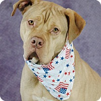Dogue de Bordeaux Mix Dog for adoption in Plainfield, Connecticut - Leonidas
