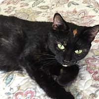 Domestic Shorthair Cat for adoption in Toledo, Ohio - Gabby