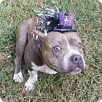 Pit Bull Terrier Mix Dog for adoption in Charlotte, North Carolina - Tika