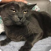 Adopt A Pet :: Mowgli-declawed - Voorhees, NJ