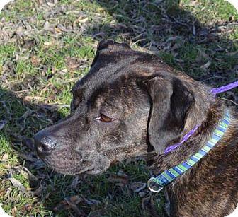 Boxer Mix Dog for adoption in Ashtabula, Ohio - Cara