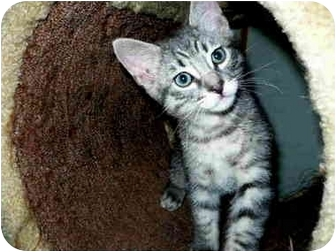 Domestic Shorthair Kitten for adoption in San Clemente, California - DAWNA