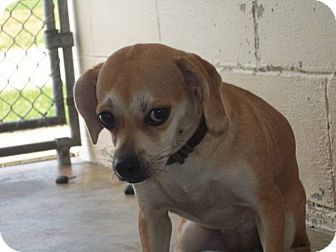 Pug/Beagle Mix Dog for adoption in Germantown, Maryland - Aspen