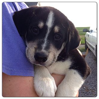Millie | Adopted Puppy | Russellville, KY | Husky/Border ...