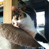 Domestic Shorthair Cat for adoption in Mission Viejo, California - Confetti