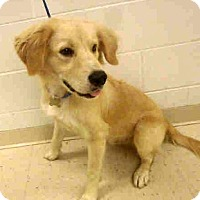 Adopt A Pet :: Cody - New Canaan, CT