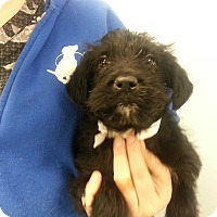Adopt A Pet :: Brindy*ADOPTED* - Chicago, IL
