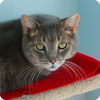 American Shorthair Cat for adoption in Chicago, Illinois - Blinky