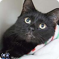 Adopt A Pet :: Tipsy - Merrifield, VA