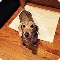Adopt A Pet :: Maddox - Decatur, GA