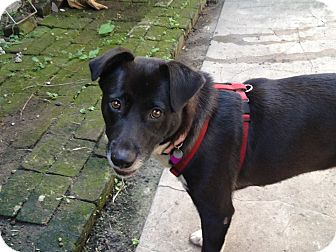 Labrador Retriever Mix Dog for adoption in Mandeville, Louisiana - Lola