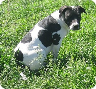 Terrier (Unknown Type, Medium)/American Bulldog Mix Puppy for adoption in Copperas Cove, Texas - Apple