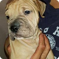 Adopt A Pet :: Sasha - Clarkston, MI