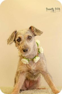 Standard Schnauzer Mix Dog for adoption in Lake Jackson, Texas - Lady Real