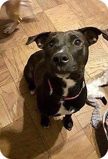 Labrador Retriever/Staffordshire Bull Terrier Mix Dog for adoption in Savannah, Georgia - Joy