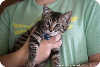 Domestic Shorthair Kitten for adoption in Louisville, Illinois - Jonah