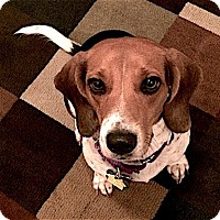 Adopt A Pet :: Becky - Houston, TX