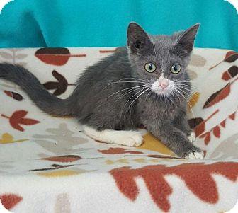 Domestic Shorthair Cat for adoption in Mt. Vernon, Illinois - Puff