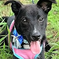 Collie Mix Puppy for adoption in San Francisco, California - Joe