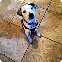Dalmatian Mix Puppy for adoption in North Brunswick, New Jersey - daisy