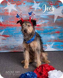 Wheaten Terrier/Standard Schnauzer Mix Dog for adoption in Phoenix, Arizona - Joey
