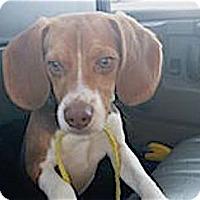 Adopt A Pet :: Donny - Houston, TX