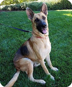 German Shepherd Dog Dog for adoption in Modesto, California - Chloe May