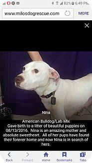 Labrador Retriever/Terrier (Unknown Type, Medium) Mix Dog for adoption in Pompano Beach, Florida - Nina