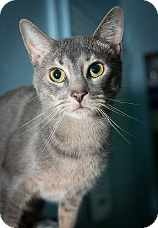 Domestic Shorthair Cat for adoption in New York, New York - Squirrel