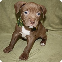 Pit Bull Terrier Puppy for adoption in Tehachapi, California - Doc