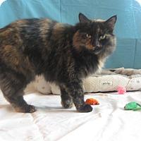 Domestic Mediumhair Cat for adoption in Ridgway, Colorado - Shine