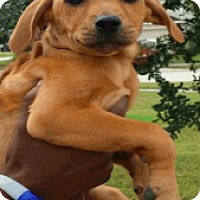 Plott Hound Mix Puppy for adoption in Fort Collins, Colorado - Emma