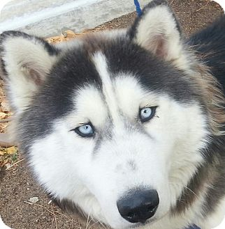 Siberian Husky/Alaskan Malamute Mix Dog for adoption in ...