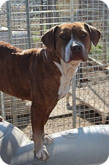 American Pit Bull Terrier Mix Dog for adoption in Midlothian, Virginia - Sugar