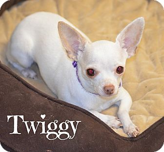 Chihuahua Dog for adoption in Metairie, Louisiana - Twiggy