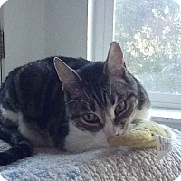Domestic Shorthair Cat for adoption in Alamo, California - Oscar