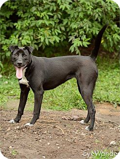 Labrador Retriever Mix Dog for adoption in Baton Rouge, Louisiana - Daisy