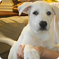 Adopt A Pet :: Lab/Shepherd Mix Pup-Charles - Midlothian, VA