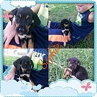 Adopt A Pet :: Sophie - Stamford, CT