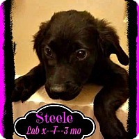 Adopt A Pet :: Steele- Adoption pending - East Hartford, CT